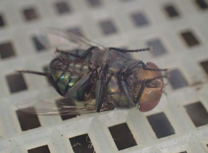 金鳥ハエ取り線香は実際に害虫ハエを退治する効果が証明された!