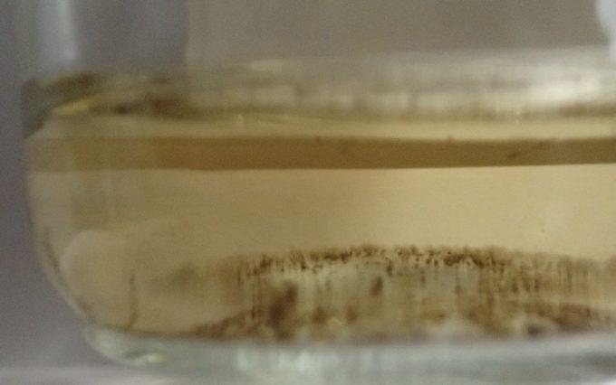 捕獲した蚊の幼虫ボウフラ