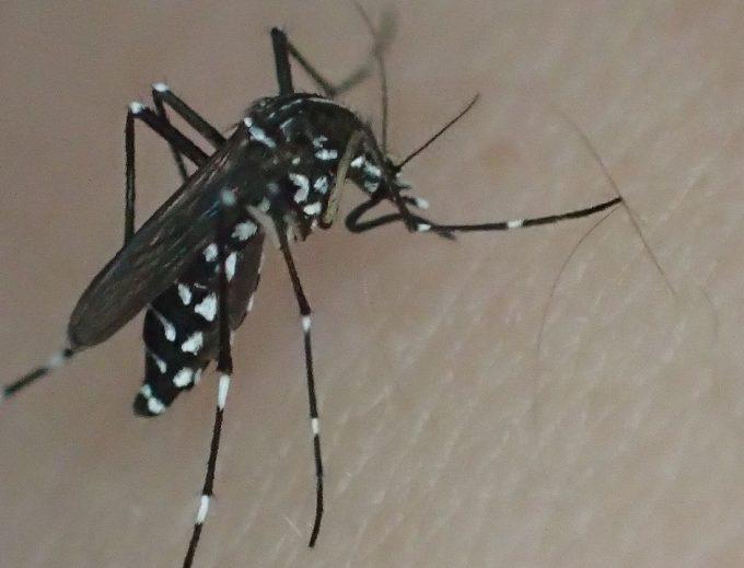 害虫ヤブ蚊(ヒトスジシマカ)が血を吸う様子