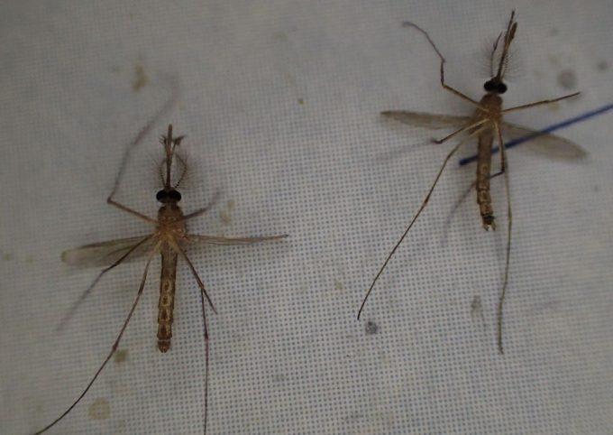 害虫イエカ(家蚊)の死骸