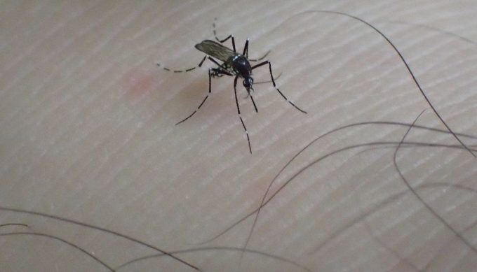 くるぶしを刺して血を吸い始めた害虫ヤブ蚊(ヒトスジシマカ)