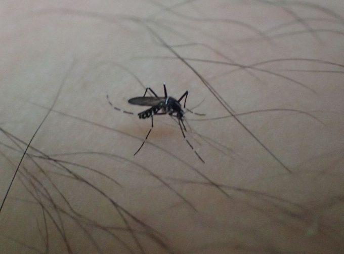 毛むくじゃらの足から血を吸い始めた害虫ヤブ蚊(ヒトスジシマカ)