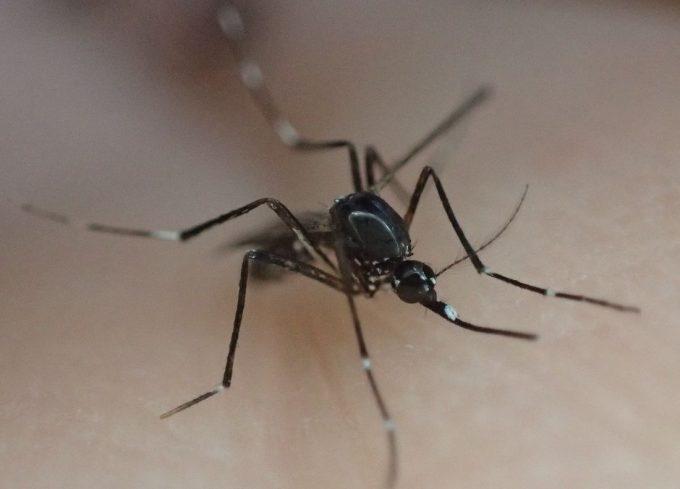 血を吸う前に仕留められて悔しそうなヤブ蚊(ヒトスジシマカ)
