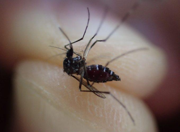重症のキズを負ったにもかかわらず必死に飛び立とうとするヤブ蚊