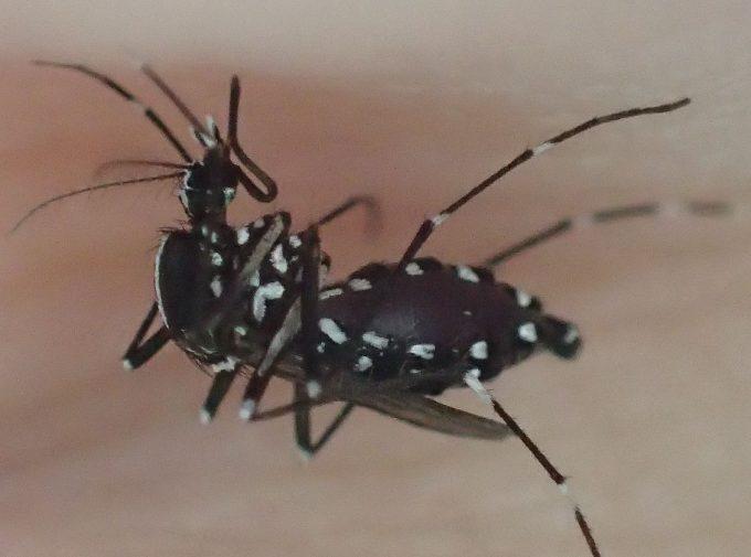 手の水かき部分から血を吸うヤブ蚊(ヒトスジシマカ)