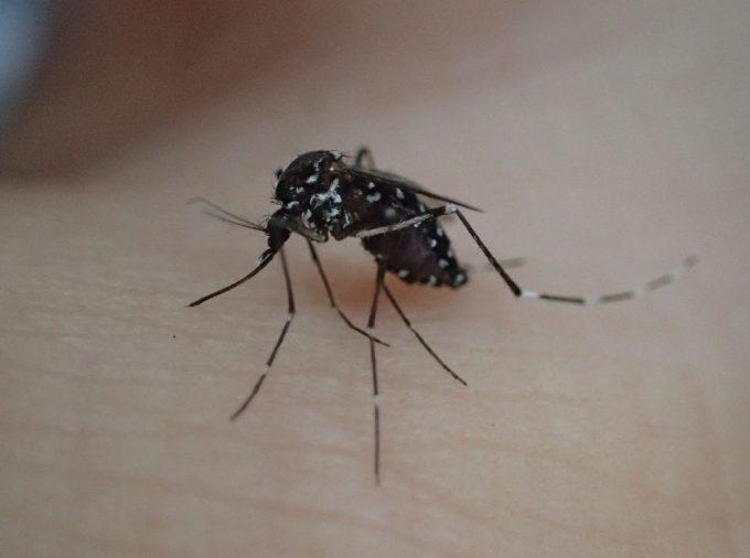 蚊の最期を見届けようと観察していたら体勢を立て直して飛ぼうとした
