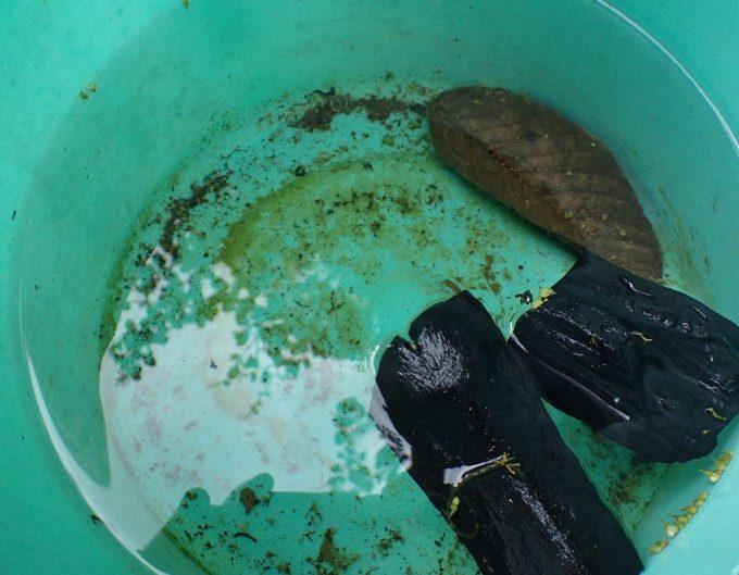炭を投入した雨水にボウフラが発生して元気に泳いでいた