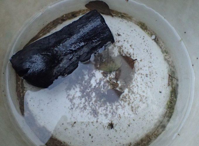 蚊の赤ちゃんボウフラがいる雨水に炭を投入してみた