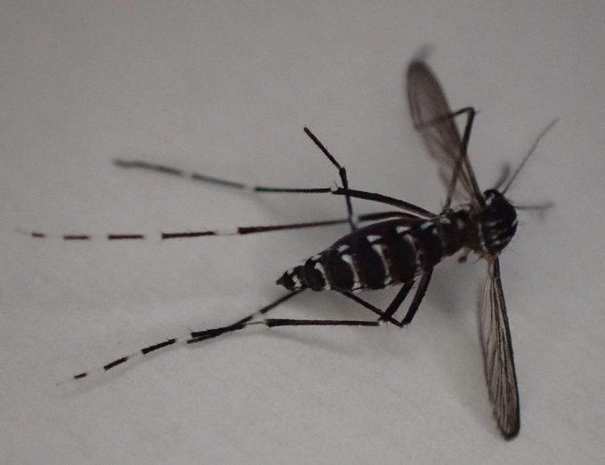 叩いて退治したメスのヤブ蚊(※死骸)