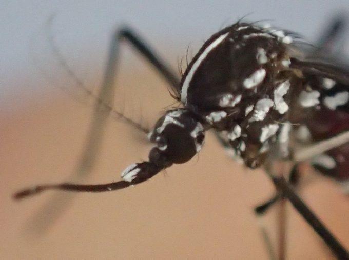 産卵の栄養源として吸った血液が災いして自滅したメスのヤブ蚊