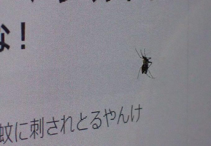 吸血して腹部がパンパンになったメスのヤブ蚊がブログを見ている!?
