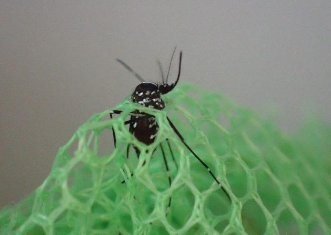 虫取り網の空いた隙間の穴から逃げようともがくヤブ蚊