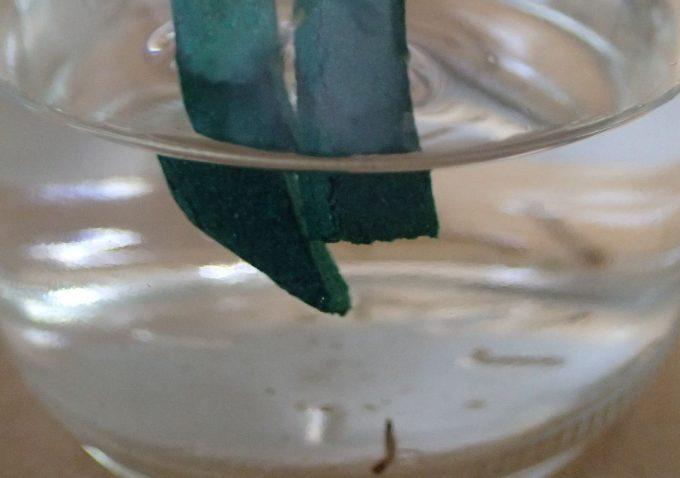 蚊の幼虫ボウフラがいる水へ蚊取り線香を沈める様子