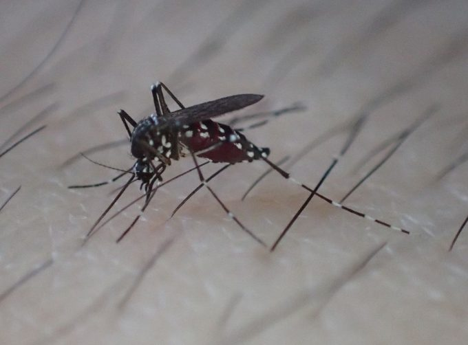 剃毛した皮膚は蚊が血を吸いやすくなる