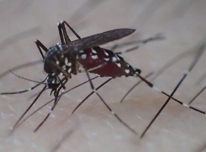 お腹一杯に血を吸ったヤブ蚊
