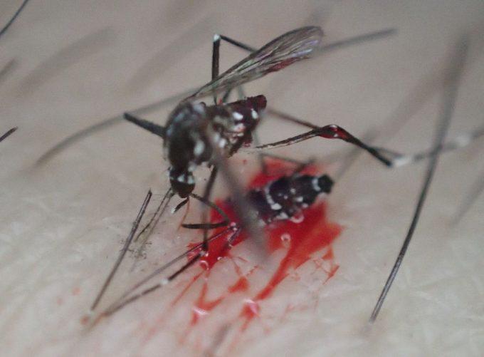 血を吸っていた害虫ヤブ蚊(ヒトスジシマカ)を叩いて駆除!