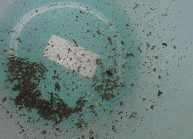 蚊・ボウフラが好みそうな汚れやゴミが混ざった雨水も加える