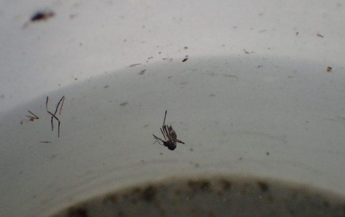 蚊とりんの中で羽化して成虫になったが外へ出られなかったヤブ蚊の死骸