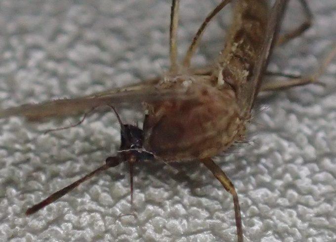 仰向けになって息絶えた害虫イエ蚊