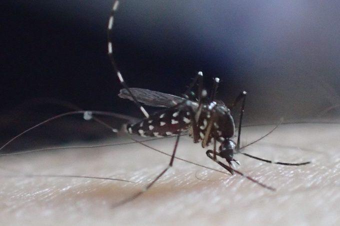 人間の腕から血を吸うヤブ蚊(ヒトスジシマカ)