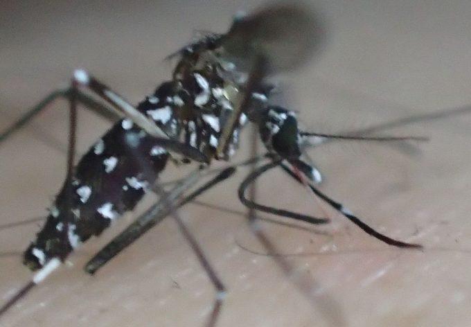 血を吸っていたヤブ蚊(ヒトスジシマカ)を叩いて退治した