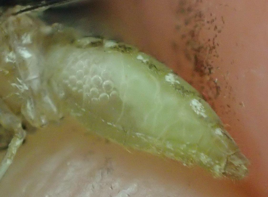 トウモロコシの汁を吸って白黄色に膨れたイエ蚊の腹部