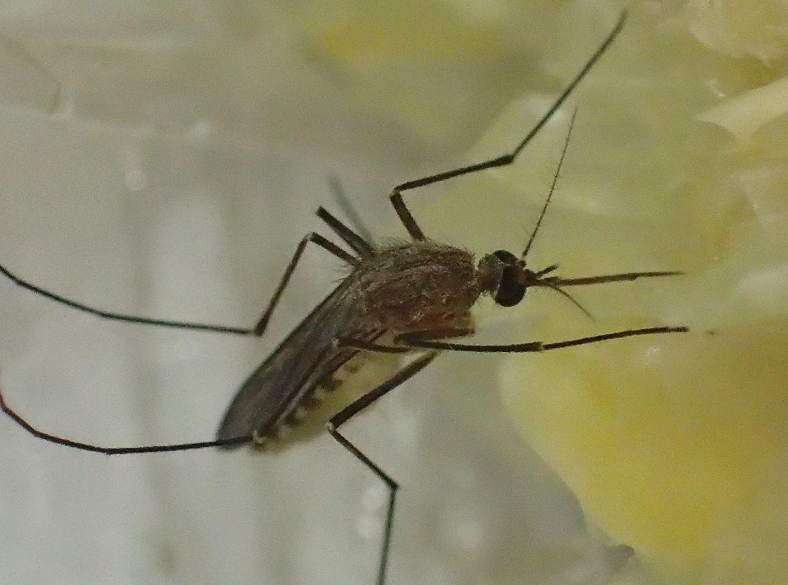 トウモロコシに夢中になるイエ蚊