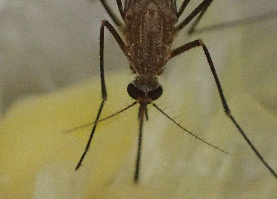 とうもろこしの芯から汁を吸うイエ蚊