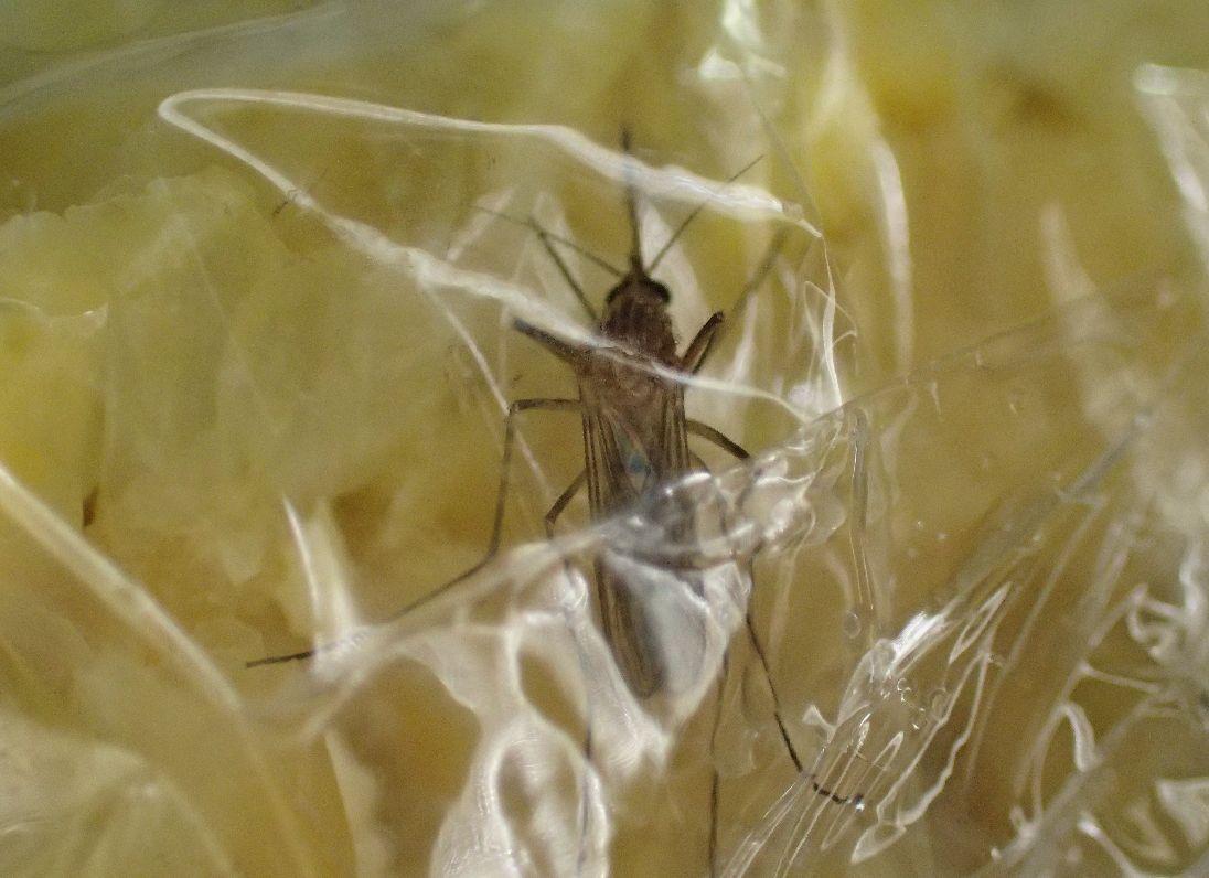 コーンスープを吸うイエ蚊をサランラップで捕獲