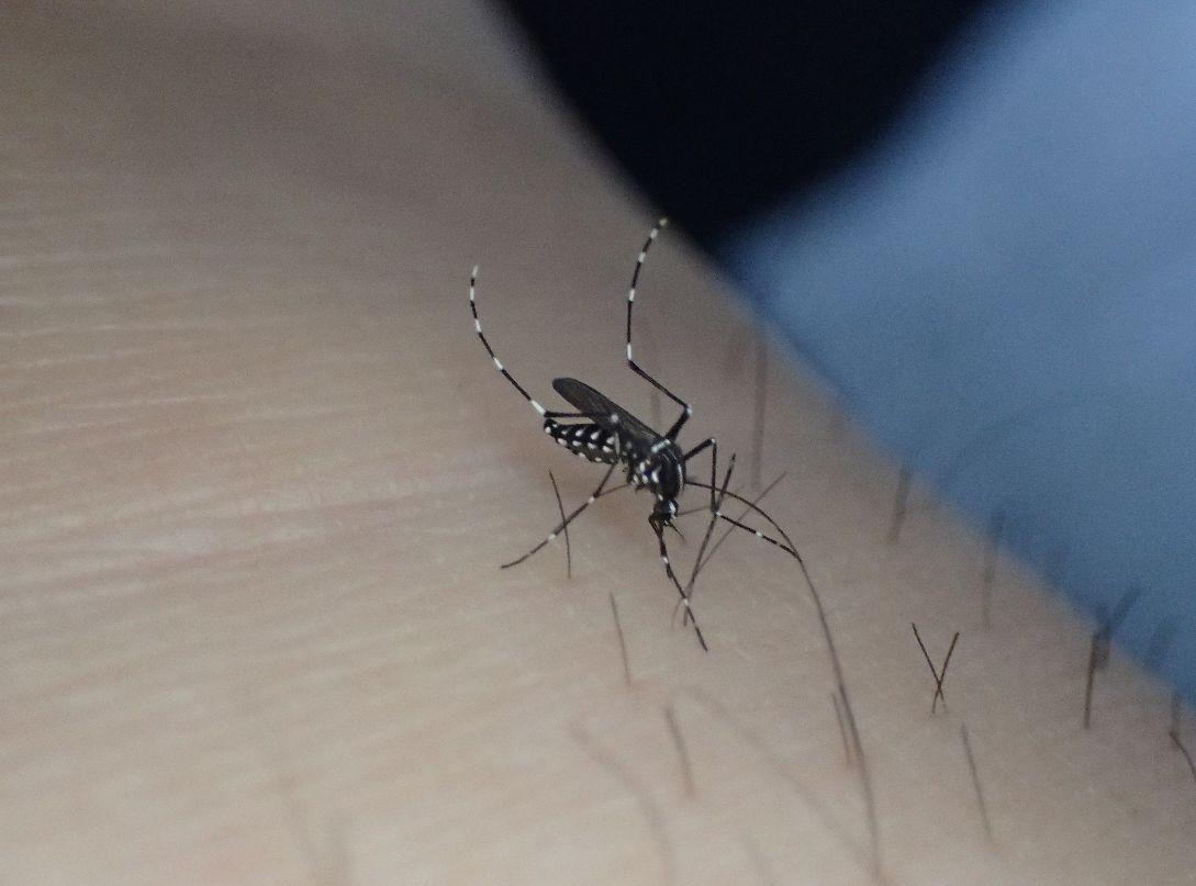 素足から血を吸う害虫ヤブ蚊