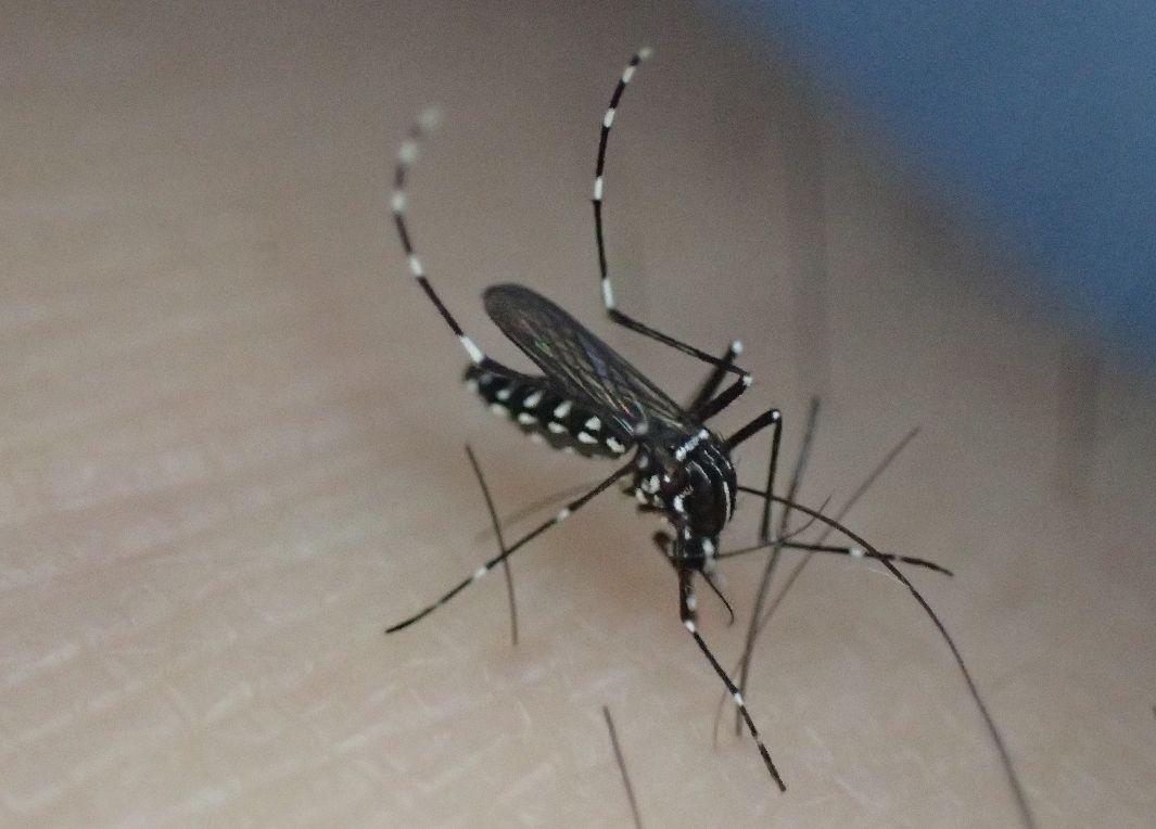 吸血する害虫ヒトスジシマカのメス(雌)