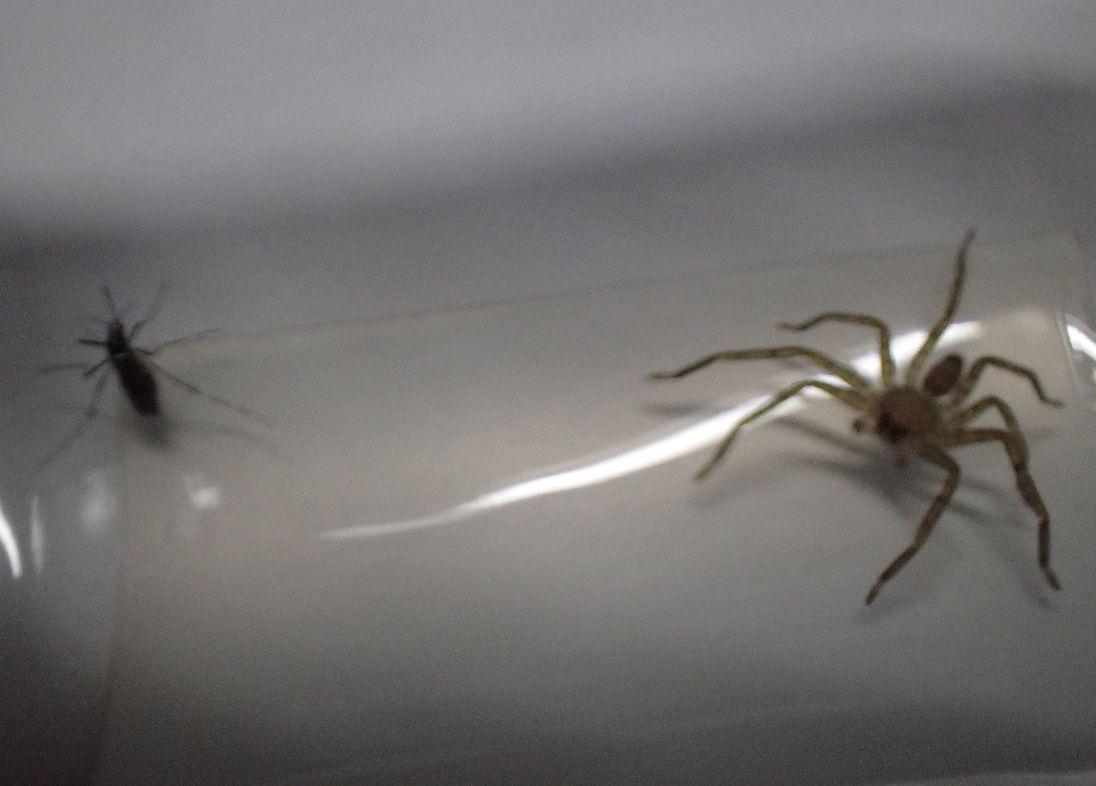 幼齢のアシダカグモに血を吸った蚊を与えてみた