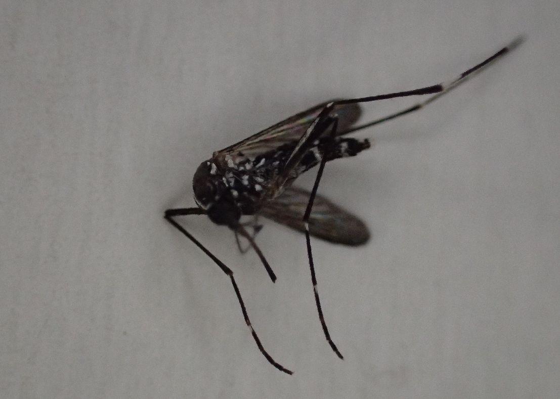 害虫ヒトスジシマカ(ヤブ蚊)の死骸