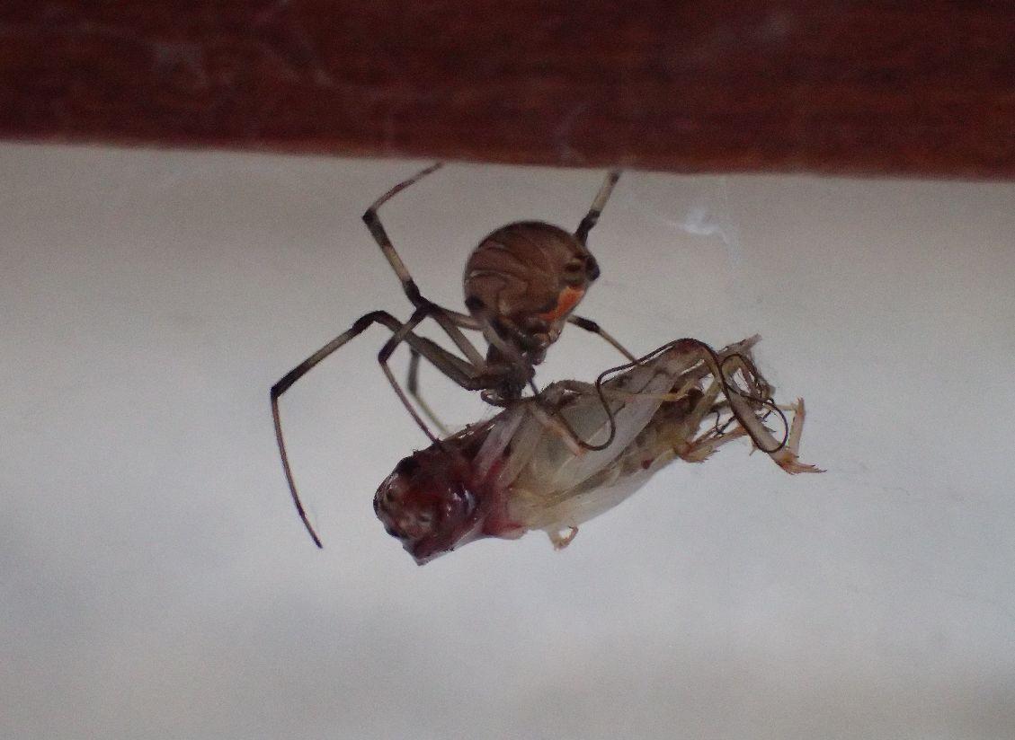 クモの巣に掛かったコオロギを捕食するヒメグモ