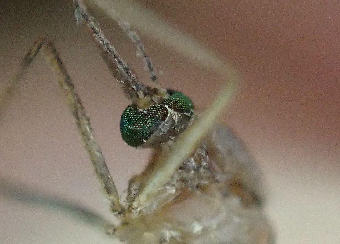 蚊取り線香の煙で駆除した害虫イエ蚊