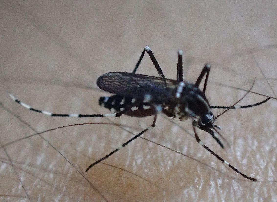 腕から吸血虫のヤブ蚊