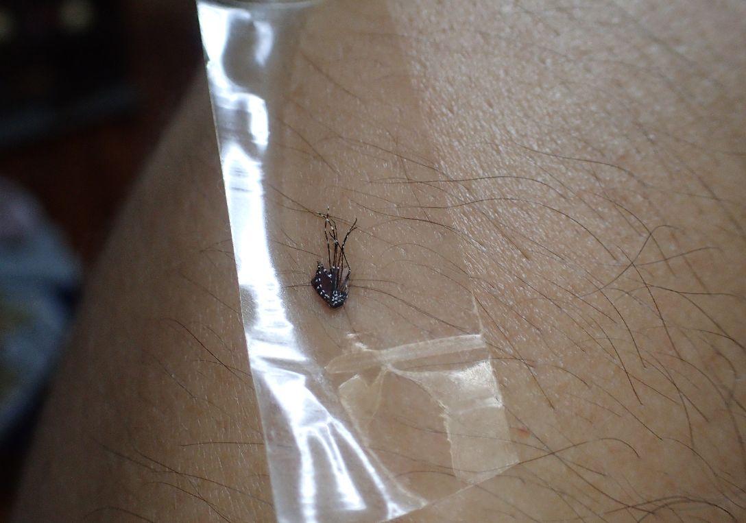吸血中のヤブ蚊をセロテープで押さえつけた瞬間の写真