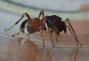 窓の隙間から部屋に忍び込んできたアリグモ(蟻蜘蛛)
