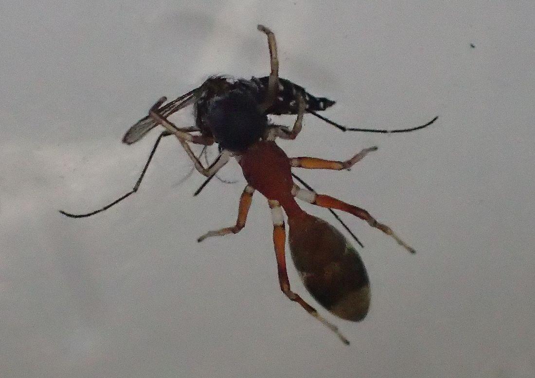 蟻蜘蛛(アリグモ)に血を吸った蚊を餌として与えてみた