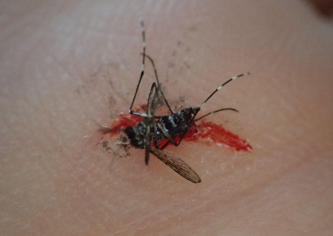 血を吸っていたヤブ蚊(ヒトスジシマカ)を叩いて駆除した