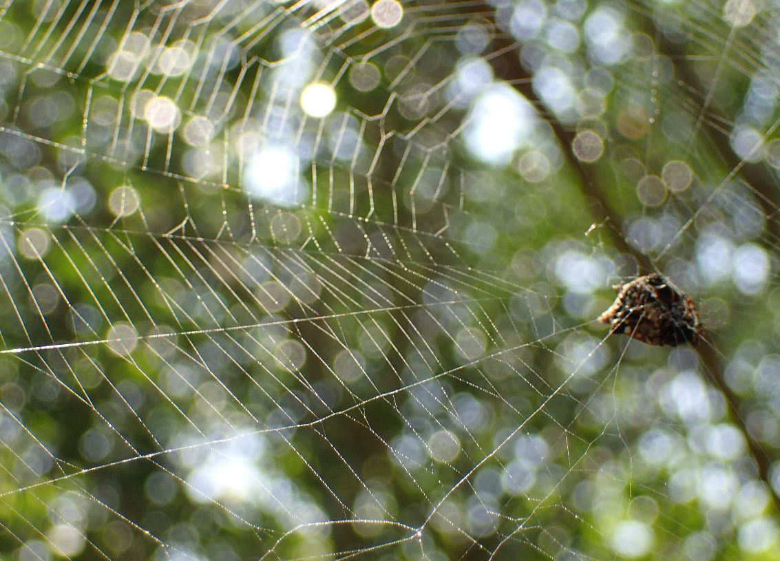 トゲグモが木の枝に張った糸で作った蜘蛛の巣