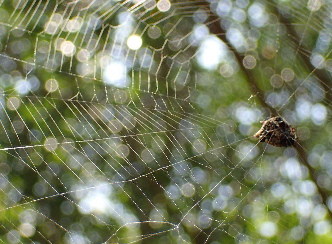 トゲグモが張ったクモの巣・蜘蛛の糸