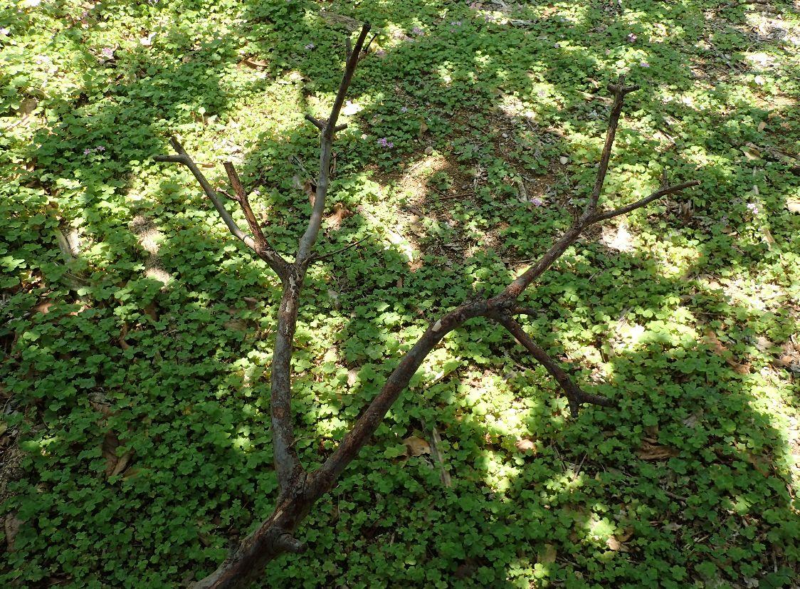 地面に落ちていた枝を折って作った二股の木