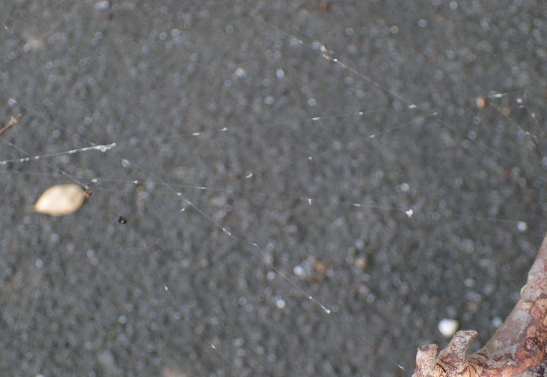 クモの巣・蜘蛛の糸で作った天然の虫捕りアミが出来上がるのです!