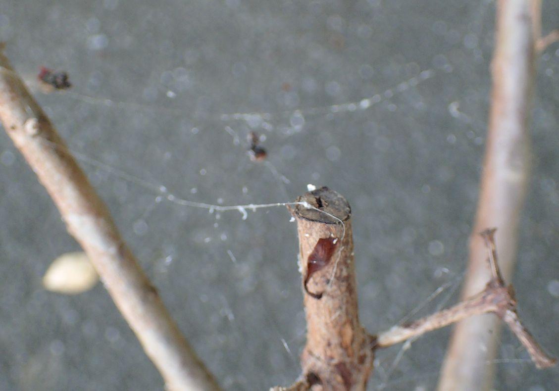 最近、山の伐採で蜘蛛の数がめっきり減ってしまいクモの巣も見かけなくなった
