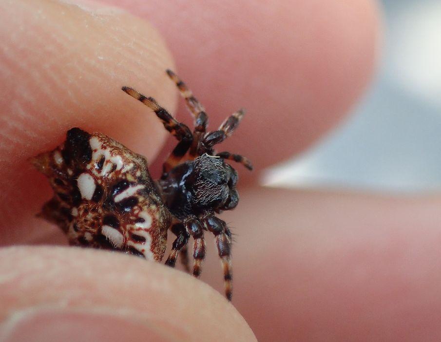 硬い甲羅を背負ったトゲグモ