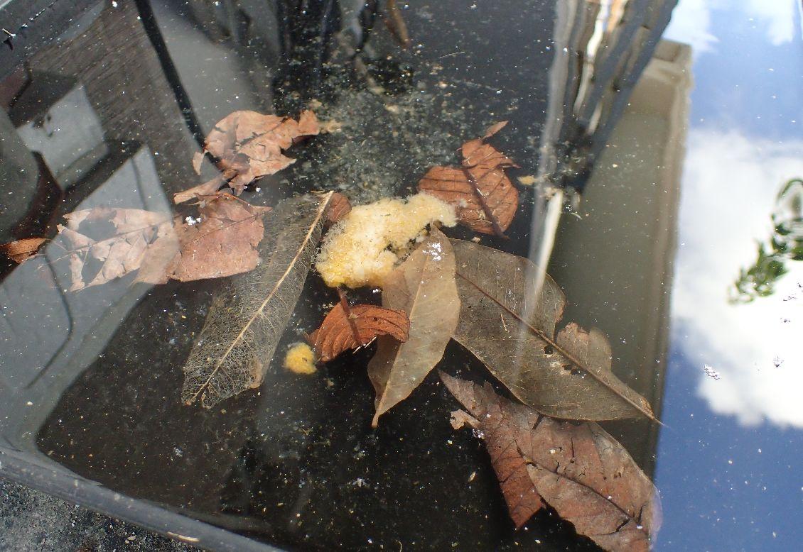 ボウフラの餌となる栄養分に落ち葉・枯れ葉やミカンの皮など生ゴミを加える