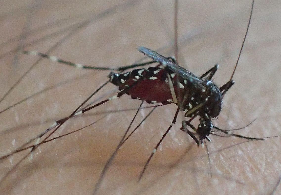 濃い足毛を避けて血を吸うヤブ蚊
