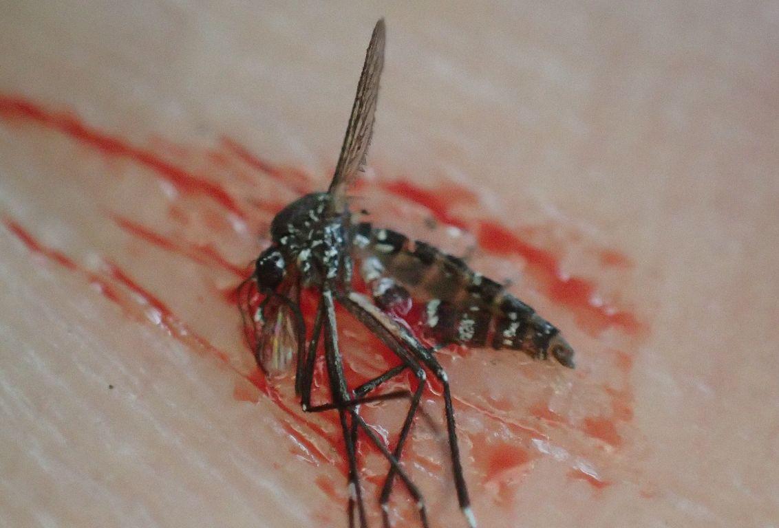叩いて駆除されたヤブ蚊の死骸