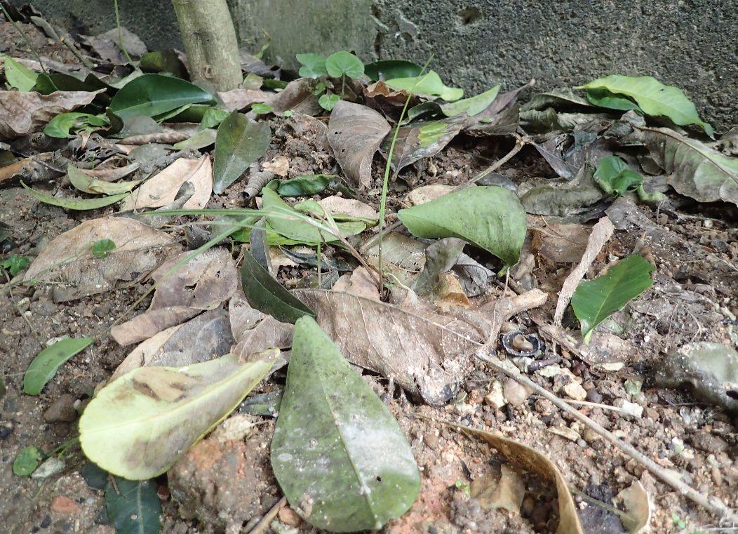 台風で樹木から落ちた葉